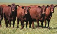 Red Poll Cattle